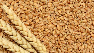 Photo of زرعی ملک ہونے کے باوجود ملک کا درآمدی گندم پر انحصار بڑھنے لگا